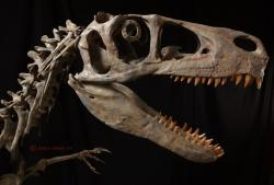 Utahraptor skull reconstruction by Rob Gaston of Gaston Design incorporating some material from the Utahraptor megablock.